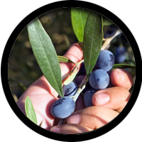 776 cooperating producers for olives